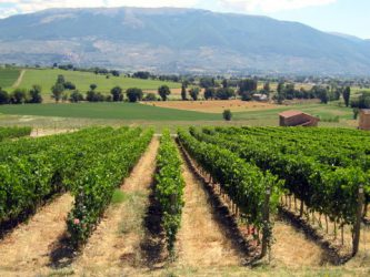 Montefalco vines