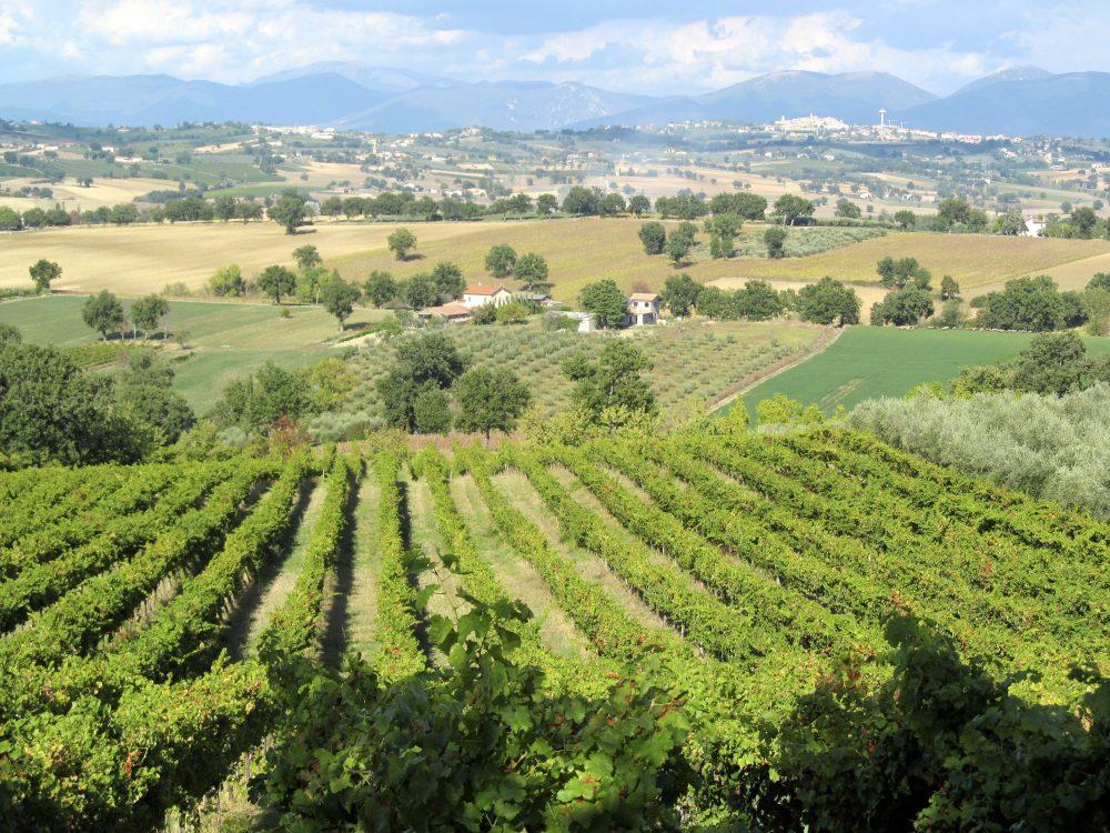 Umbrian vine views