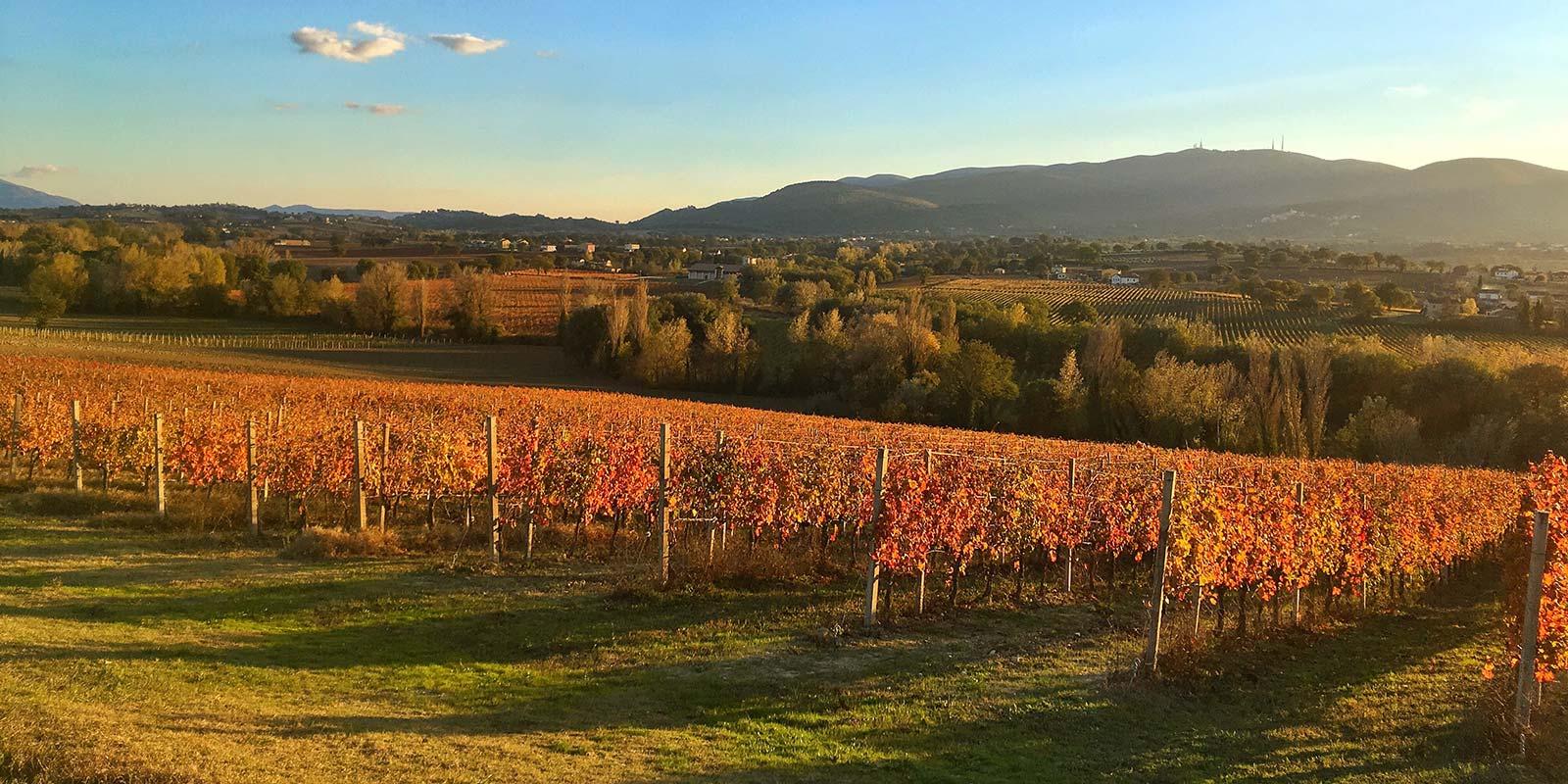 Red vines in Umbria